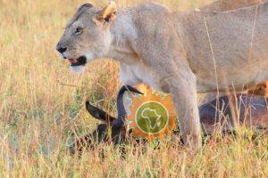 Lion Kills Afriken Travels